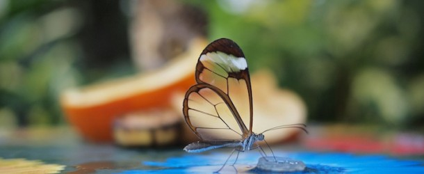 Amazing Photos of the Glasswinged Butterfly
